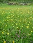 Hawkweed (Hieracium sp) and Common self-heal (Prunella vulgaris)