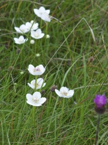 Grass of Parnassus (Parnassia palustris) with knapweed