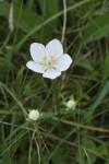 Grass of Parnassus, showing buds
