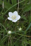 Grass of Parnassus, showing buds