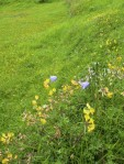 Harebells and Bird's-foot Trefoil (Lotus corniculatus)