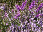 Ling (Erica cinerea) and Bell Heather (Erica carnea);  ling is the paler flower