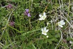 Knotted Pearlwort (Sagina nodosa) and wild thyme