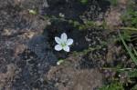 Knotted Pearlwort (Sagina nodosa)