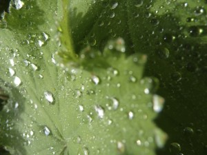 Droplets on Lady's Mantle 2
