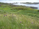Settlements on the Garvellachs, with knapweed in foreground