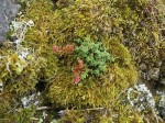 Stonecrop on moss