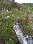 Juniper with harebells and heather