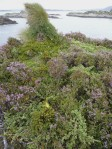 Wild Juniper (Juniperus communis) in heather