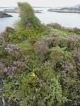 Wild Juniper (Juniperus communis) in heather