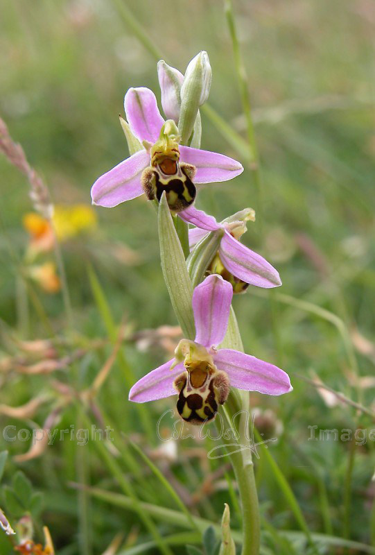 bee-orchid-2-ss-e1316174523349