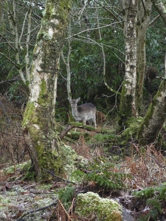 Roe deer, Kildalton