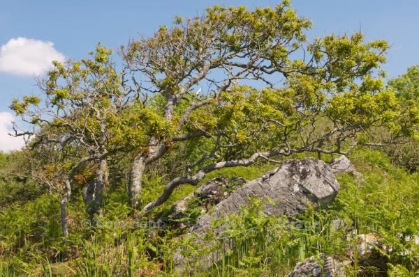Wind-blown oak tree in Kintyre