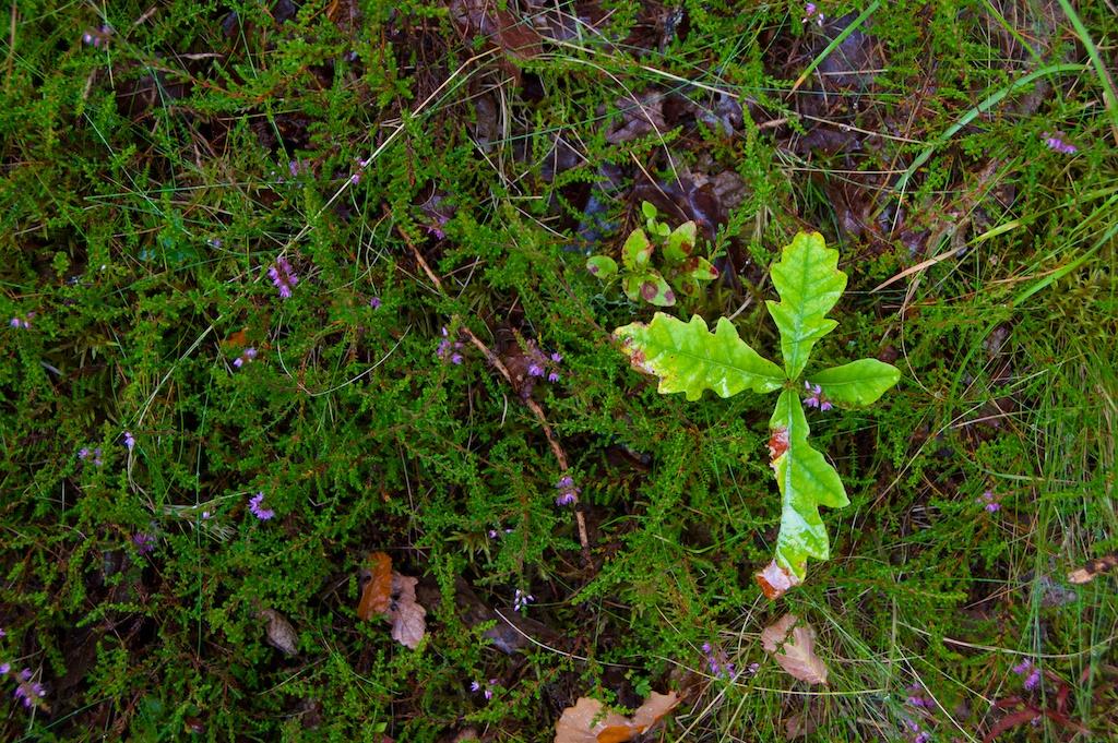 Bracklin Falls - oak seedling