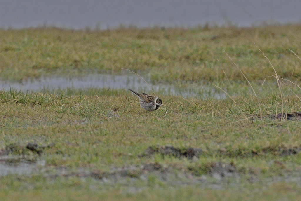Reed bunting in a flooded field