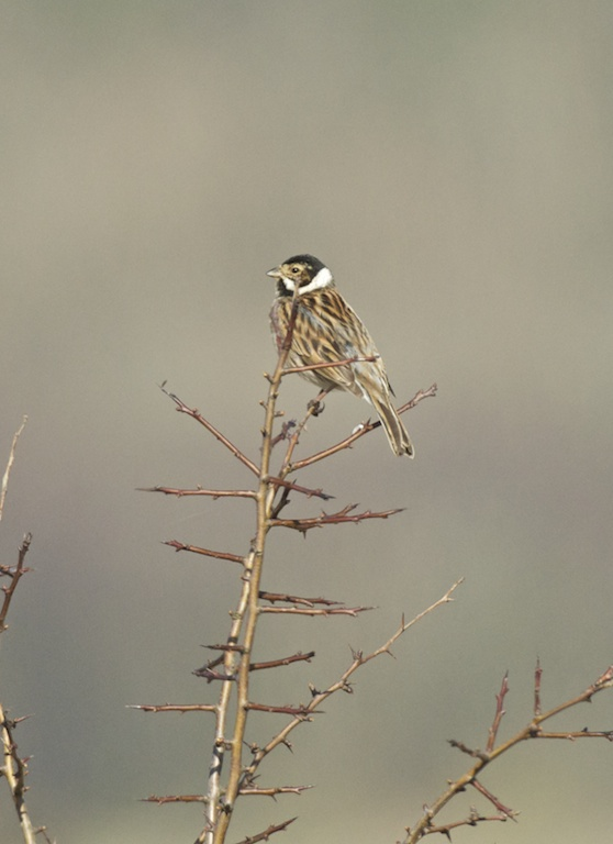 Reed Bunting at Mersehead, Solway, March 2011