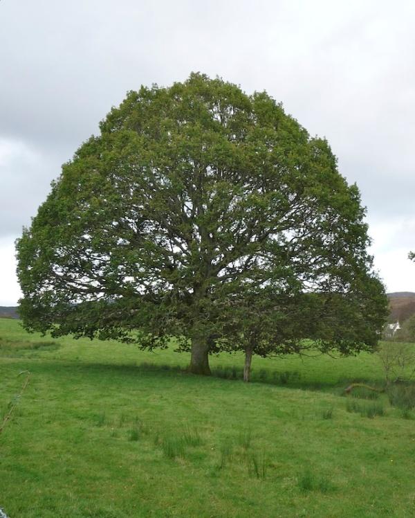 Mature oak tree near Loch Lomond