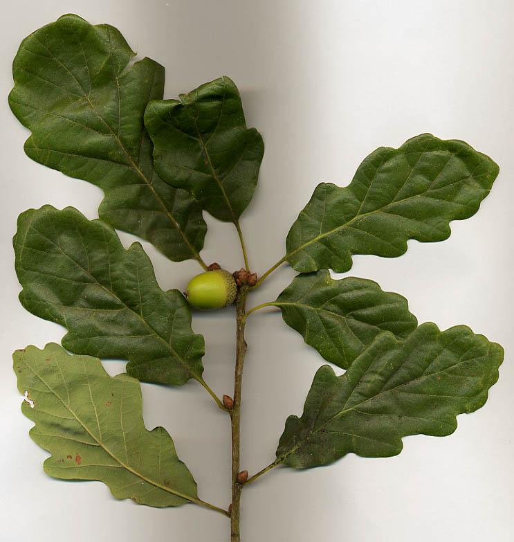 Sessile oak leaves and acorn; MPF via Wikimedia Commons