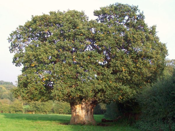 Old English oak (Quercus robur) in Hertfordshire;  by AnemoneProjectors via Wikimedia Commons