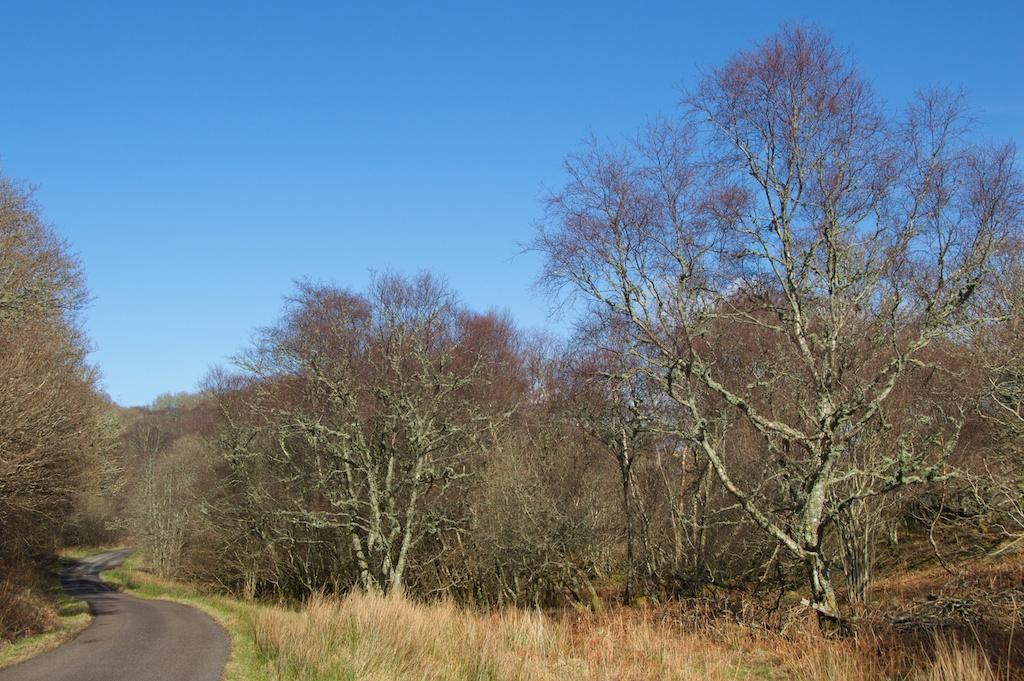 Birch trees in Knapdale