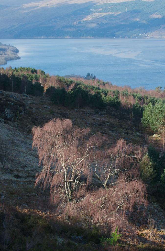 Birch above Loch Tay