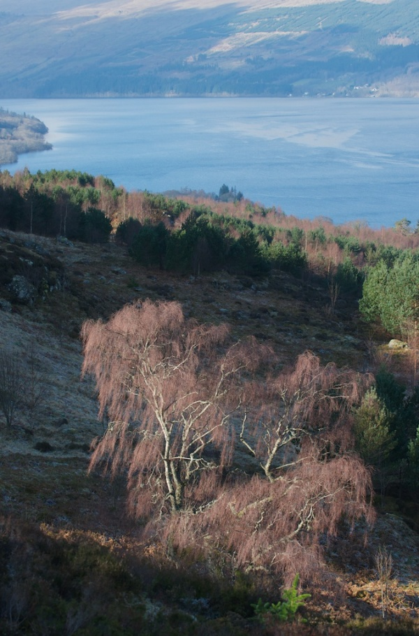 Birch above Loch Tay