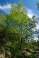 Birch in new leaf