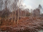Birches in frost