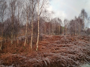 Birches in frost
