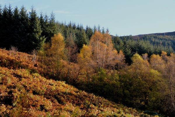 Birches by Loch Creran