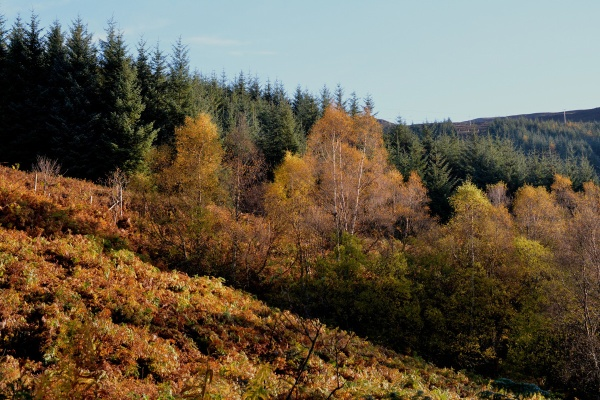 Birches by Loch Creran