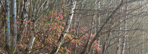 Silver birches with flowering currant