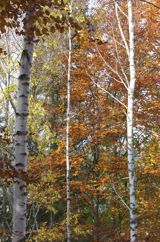 Birch and beech trees in autumn