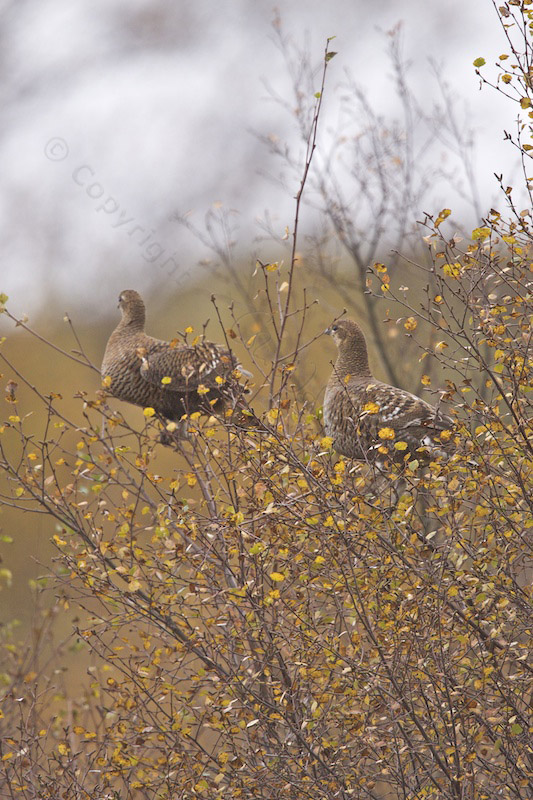 Greyhen in birch tree