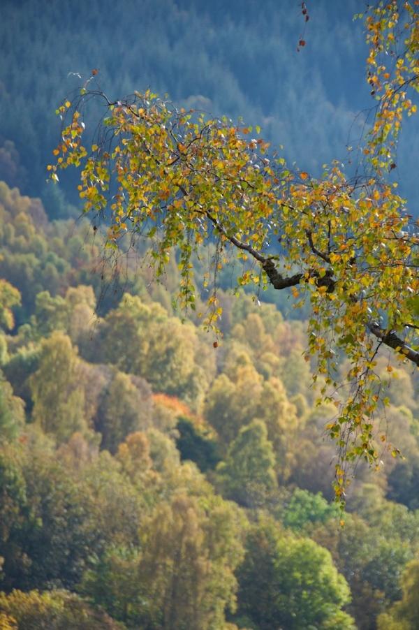 Birch, Killiecrankie