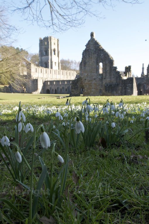 Snowdrops at Fountains Abbey, Yorkshire