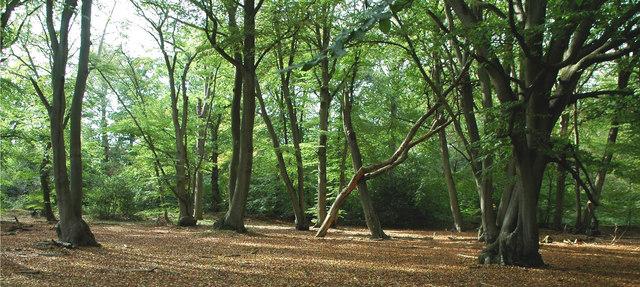 Burnham Beeches by A Perkins via Wikimedia Commons