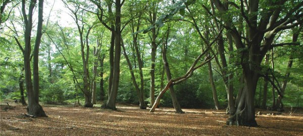 Burnham Beeches by A Perkins via Wikimedia Commons
