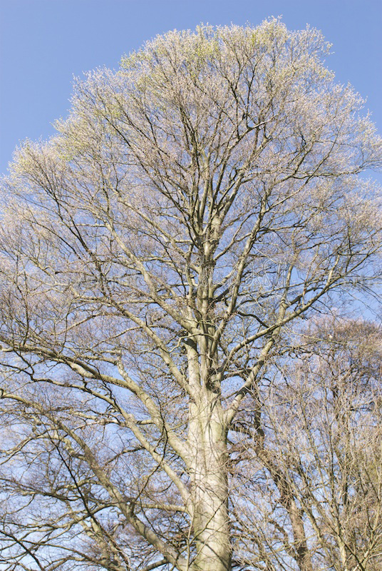 Beech tree in early spring