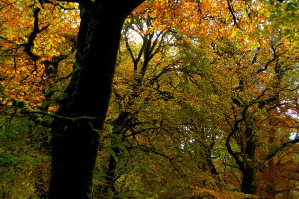 Beeches in the Barcaldine Forest