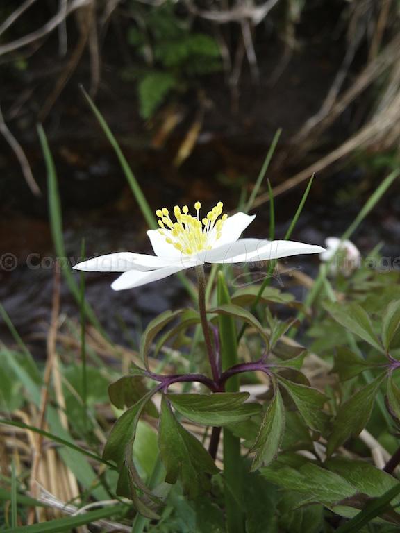 Wood anemone (4)