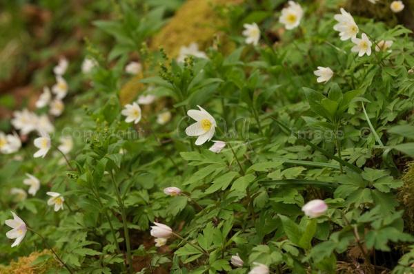 Wood Anemones (1)