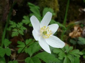 Wood Anemone (2)