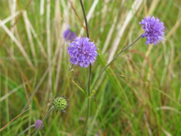 Devil's-bit scabious via Wikimedia Commons credit Philip