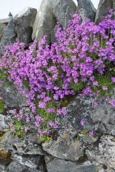Fairy foxgloves on Isle of Lismore