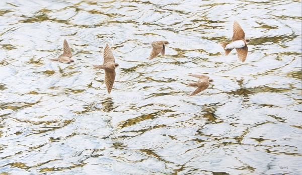 Sand Martins by Colin Woolf (2)
