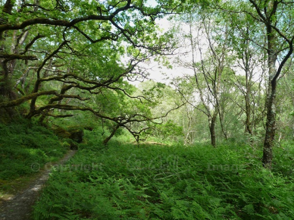Taynish NNR - woodland