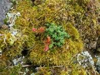 Garvellachs: A rock garden of moss, lichen and stonecrop
