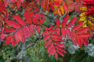 Mountain ash (Oct 2013)