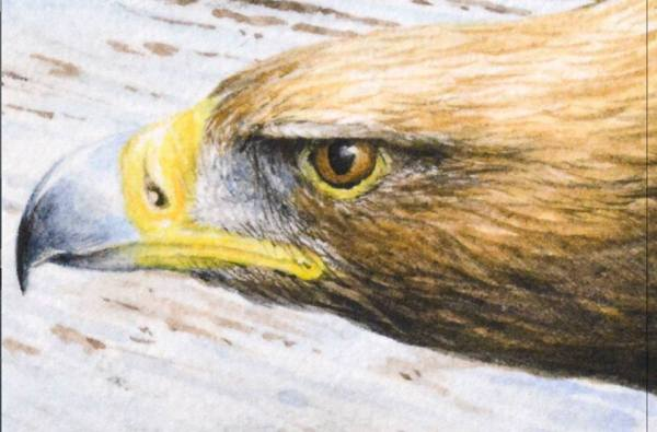 Golden eagle by Colin Woolf - enlargement of head